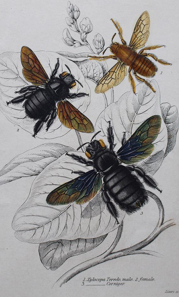 Natural History - Bees