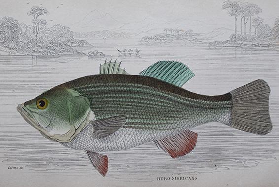 Natural History - Huro Nigricans Fish