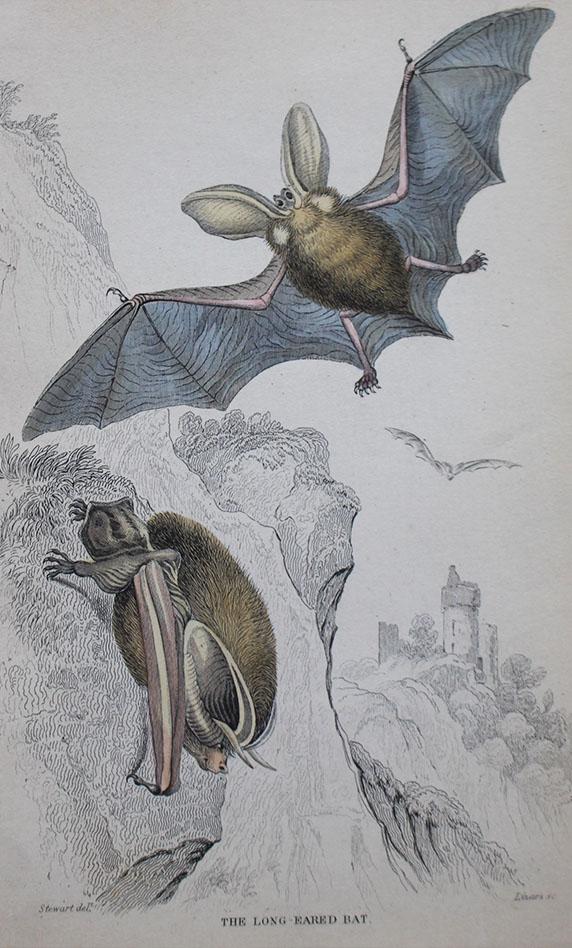 Natural History - Long Eared Bat