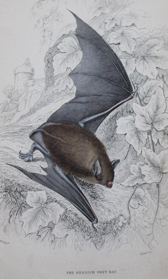 Natural History - Reddish-Grey Bat